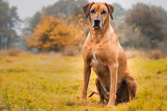 Le chien chasseur de lion