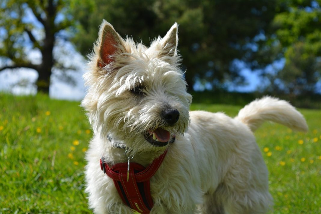 cairn terrier 1083165 1280