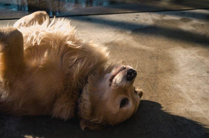 un chien qui se roule par terre