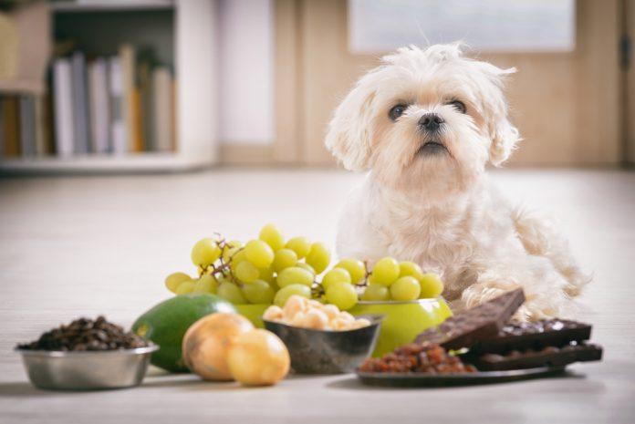 aliments dangereux pour les chiens