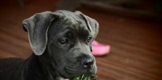 pourquoi un chien mange de l'herbe