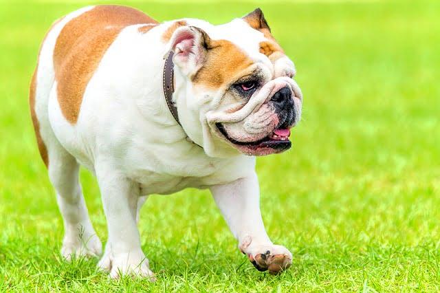 english bulldog 2705136 640