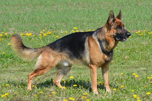 Berger allemand