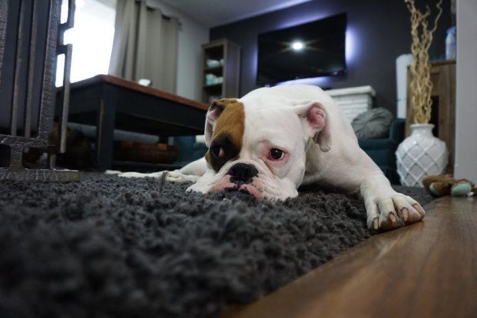 Quel chien en appartement