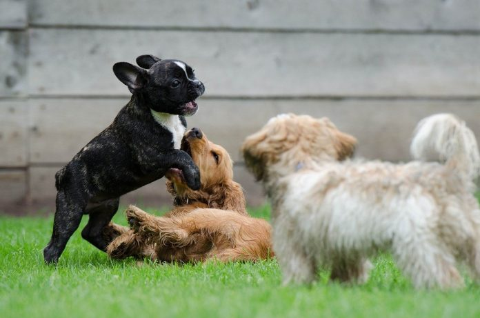 chiens adaptés aux appartements