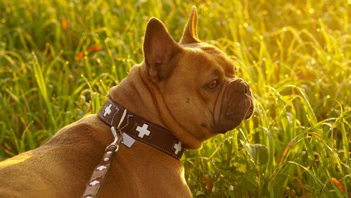 Quel collier pour chien choisir