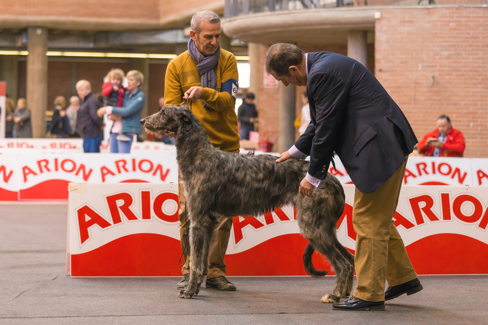 Grands chiens : LEVRIER ECOSSAIS