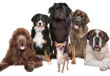 les-plus-grands-chiens-du-monde