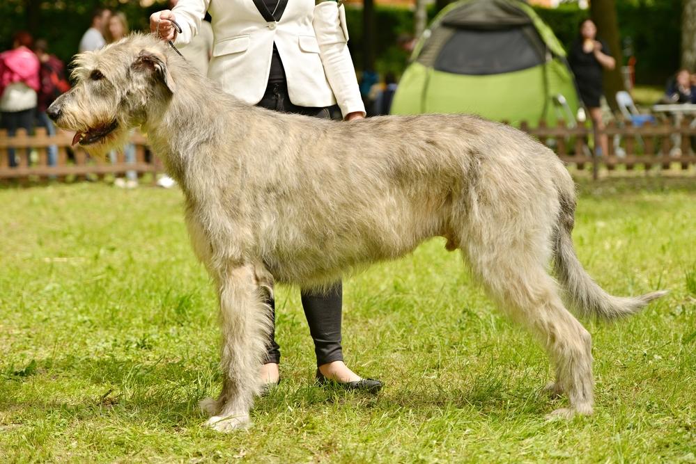 Grands chiens : Lévrier irlandais