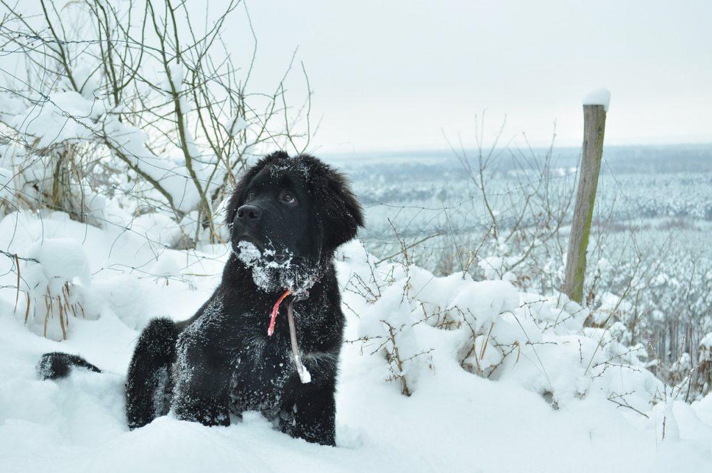 Grand chiens : TERRE-NEUVE