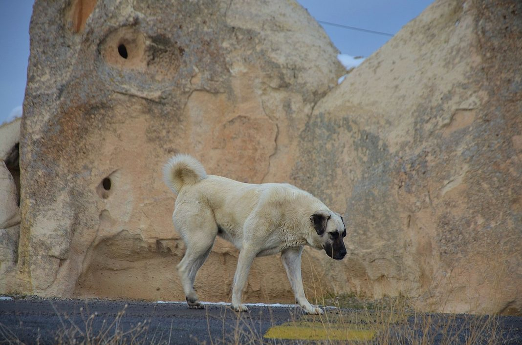 Chien de garde / Grands chiens : Kangal