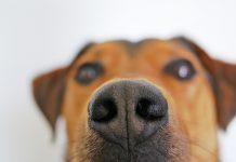 Pourquoi les chiens reniflent-ils notre entrejambe