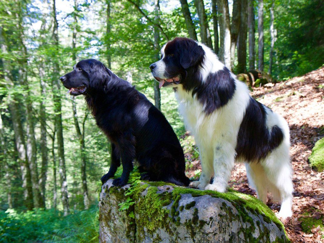 Grands chiens : LANDSEER