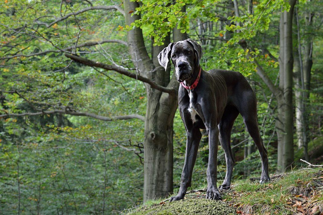 Grands chiens : Dogue allemand