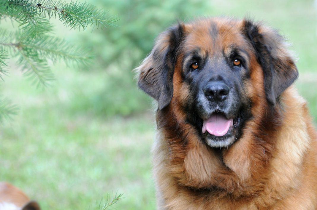Grands chiens : LEONBERG