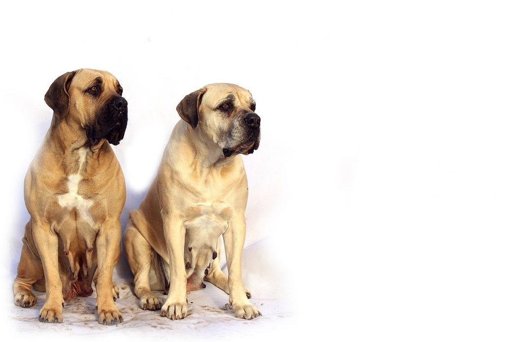 Grands chiens / Chien de garde : Mastiff anglais