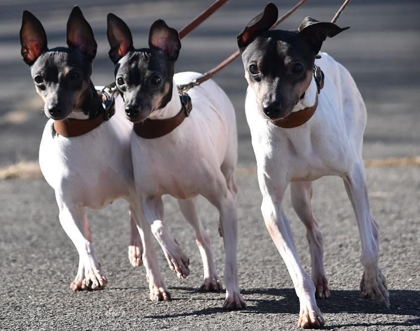 Chien japonais Terrier japonais