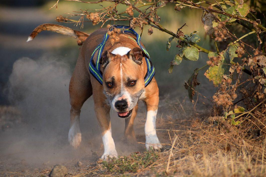 Chien de garde American Staffordshire terrier