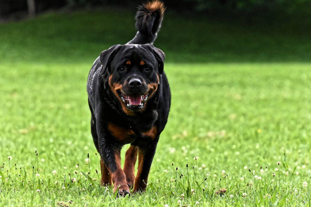 Chien de garde Rottweiler