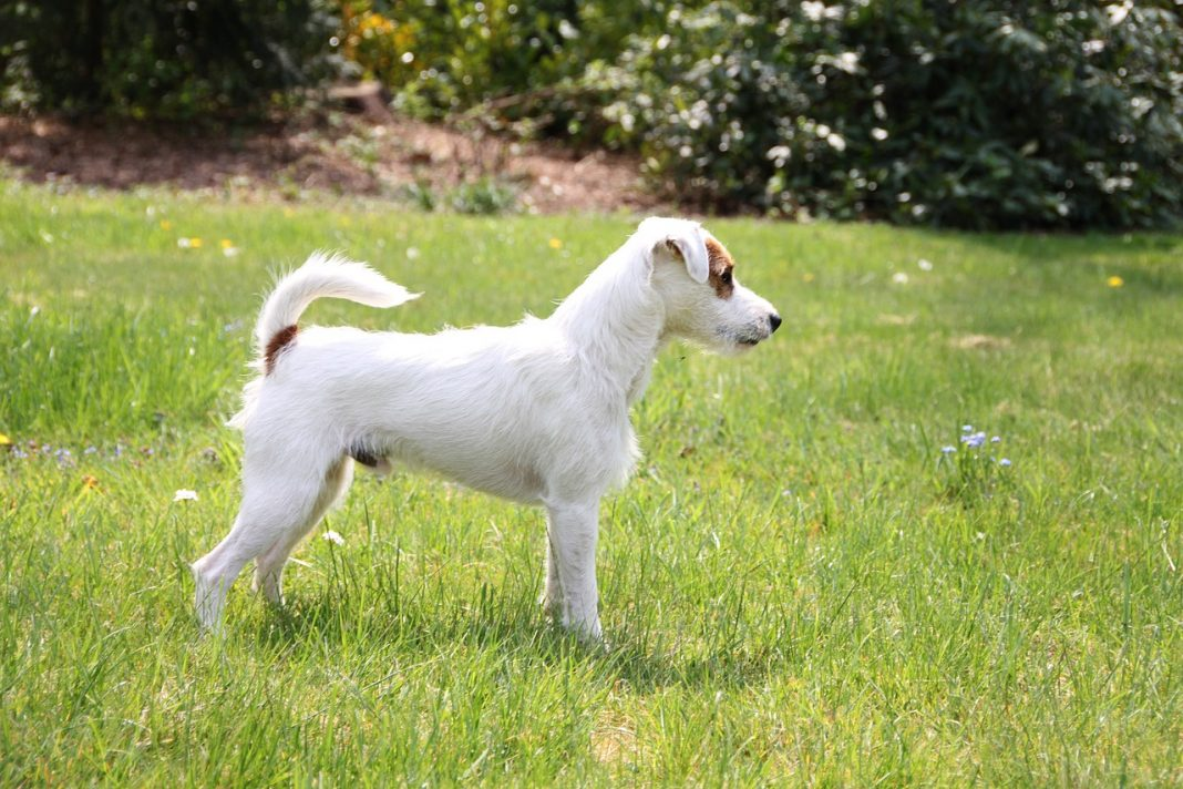 parson russell terrier 5089785 1280